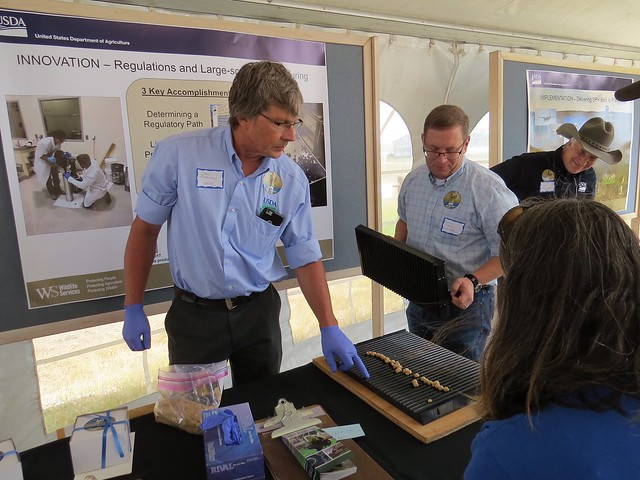 USDA-APHIS Wildlife Services employees John Eisemann (left) and Patrick Darrow demonstrating how oral plague vaccine baits for prairie dogs are made