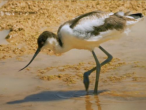 Avocet Chick Foraging%2c Namibia PDI 2 (2)