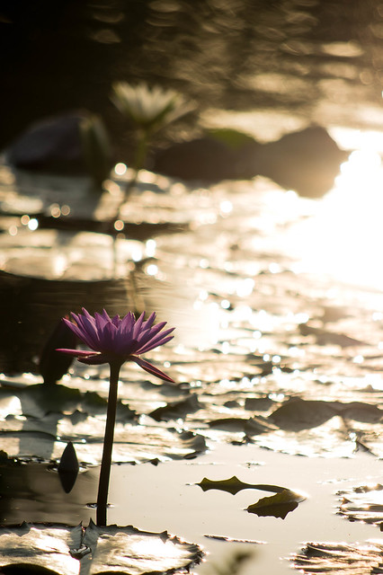 Backlit purple lake flower