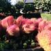 Garden flowers in Nerima