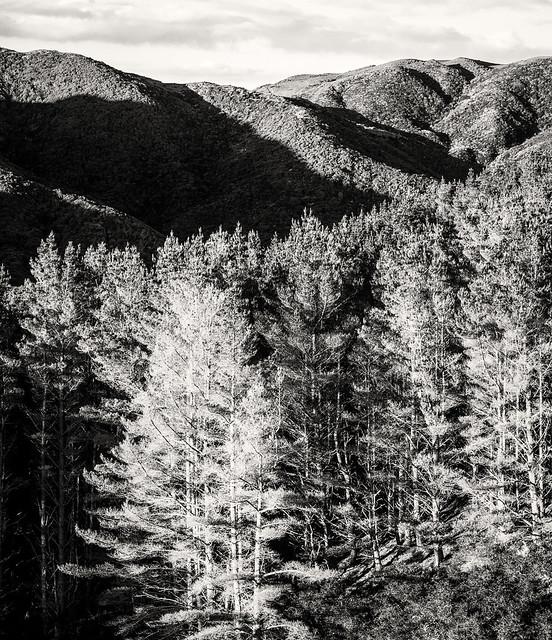 Pines at Twilight