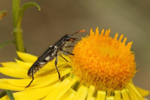 Clerid Beetle?