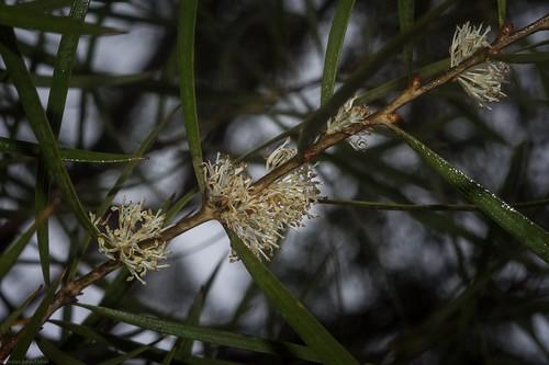 proteaceae hakea hakealaevipessubsplaevipes australianshrubs flowers whiteflowers australianflora australianflowers flaggycreeknaturereserve oraravalley clarencevalley northernrivers northcoastbotanicalsubdivision nsw nature australia