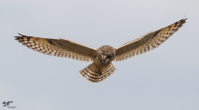 Concentrating During The Hunt (Short-Eared Owl)