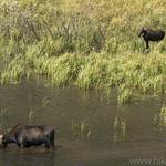 Moose cow and calf at Moose Ponds