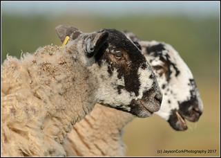 Sheep | by JaysonCork