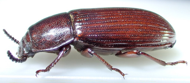 Uloma culinaris (Linnæus 1758)  ♀ (Coleoptera Tenebrionidæ Tenebrioninæ Ulomini)