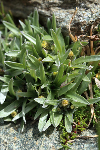 Gnaphalium supinum (Dwarf Cudweed) | by Hugh Knott