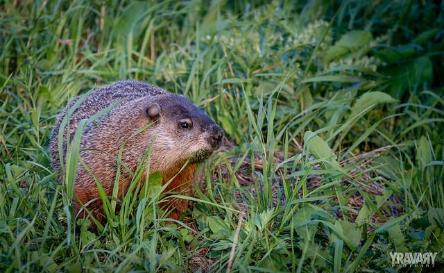 Marmotte / Marmot / marmota