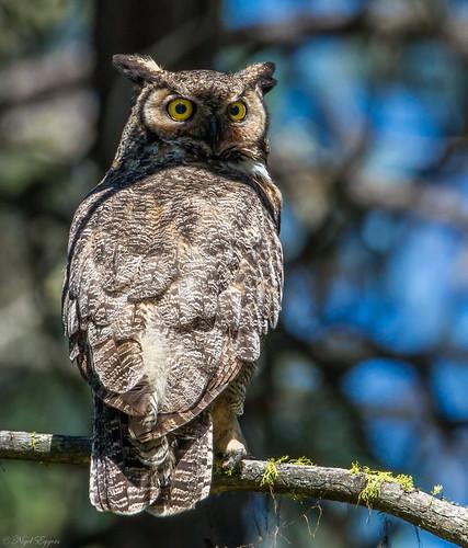 greathornedowl hornedowl owl bubovirginianus bubo tigerowl hootowl strigidae trueowl typicalowl nigelje