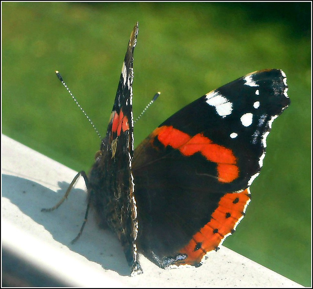 Red Admiral Butterfly ..
