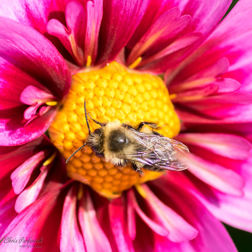michigan midland midlandmi pentax pentaxk3 bee flower flowers unitedstates us