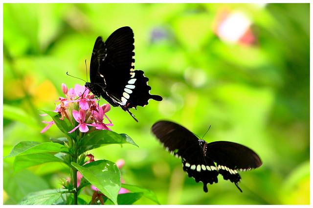蝶兒雙雙飛   Couple butterfly flying