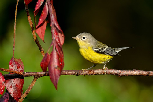 Magnolia Warbler | by Danielirons02
