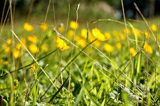 Ranunculus bulbosus. (Bulbous Buttercup)