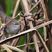 2017 10 24_Cetti's Warbler-2
