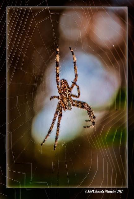 Aranya de la creu  (Araneus diadematus) Garden spider (El Saler, l'Horta, València, Spain)