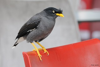 Javan Myna | by flickr quickr