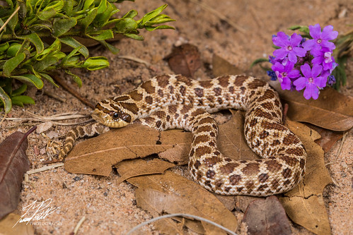 Mexican Hognose Snake | by Frank Portillo