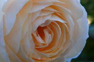 Rose-Marie (David Austin, 2003) | by Johannes Oehl