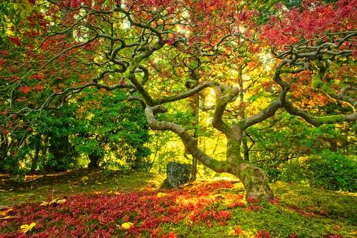 autumn fallseason tree leaves jchoate maple japanesemaple garden portland portlandoregon sunrise portlandjapanesegarden moss on1pics