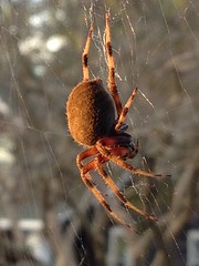 Sunset Spider - neoscona crucifera