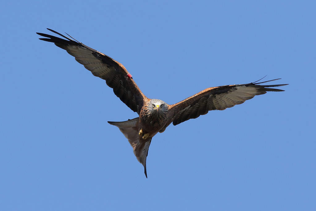 Red kite, West Yorkshire 9P1A9972