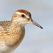Flickr photo 'Sharp-tailed Sandpiper' by: 0ystercatcher.