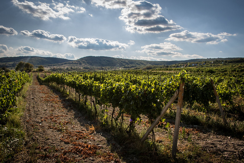 Modra vineyards