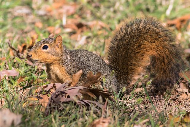 Fox squirrel (explored 10-26-2017)