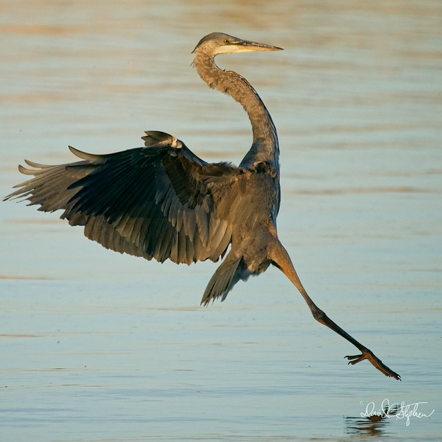 Great Blue Heron In Move Before Final Stall