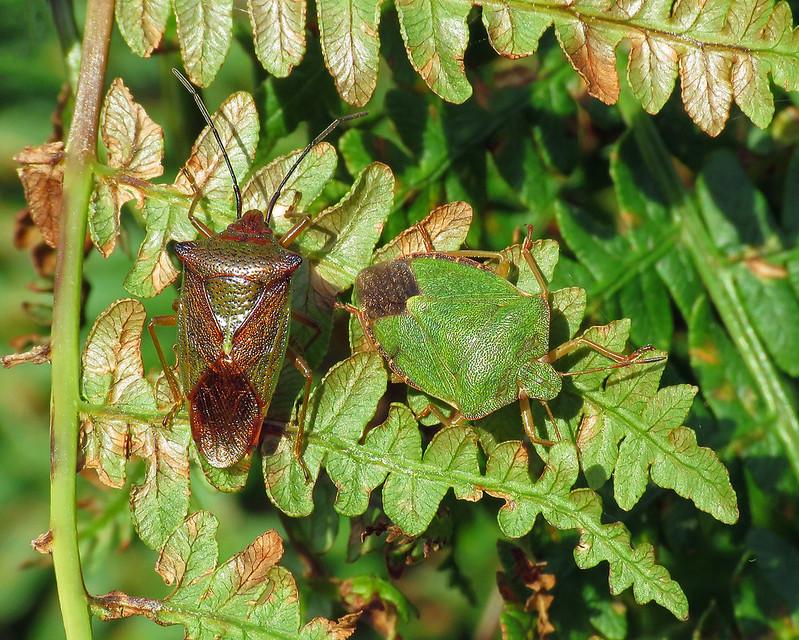 Hawthorn Shieldbug - Acanthosoma haemorrhoidale & Common Green Shieldbug - Palomena prasina