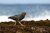 Sooty Oystercatcher (Haematopus fuliginosus) by patrickkavanagh