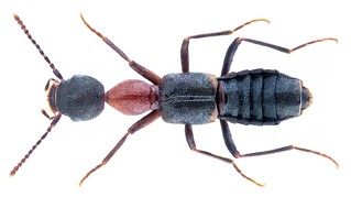 Rugilus angustatus (Geoffroy, 1785) Syn.: Rugilus scutellatus (Motschulsky, 1858) | by urjsa