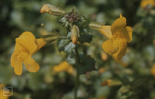 Mimulus guttatus. Monkey flower. Glen Morlais, July 1982