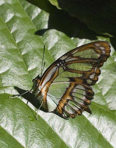Malachite Butterfly by Tut99 (Roger)