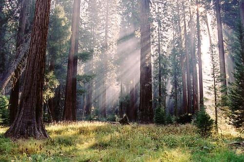 sequoia rays   by zrim