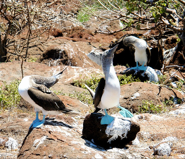 blue-footed booby dance (looks like ballet warmup)