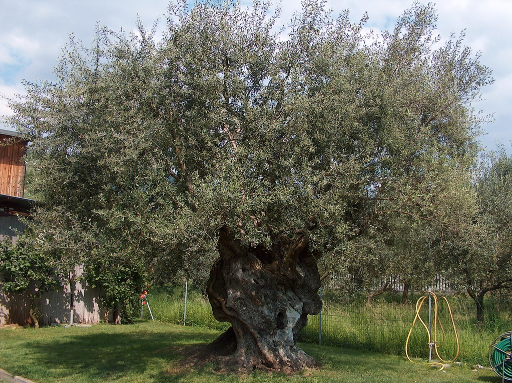Olivo secolare - secular olive tree