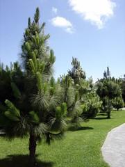 Jardin Canario - Pine Trees   by elsua