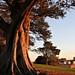 Image: Moreton Bay Fig