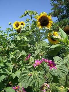 Self-seeded Sunflowers and Cosmos | by hardworkinghippy : La Ferme de Sourrou