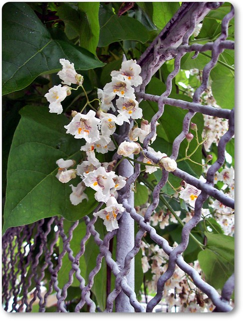 Flower of the cigar tree and a fence - a bakaszivarfa virága és a kerítés (: