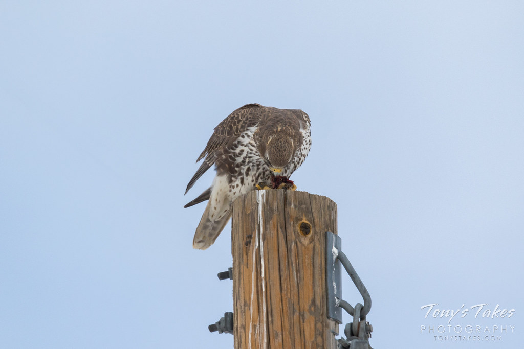Prairie Falcon dines on another feathered creature