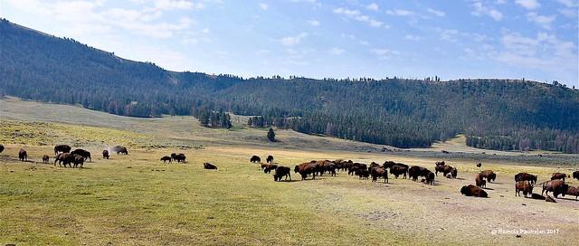 Herd of Yellowstone Bison