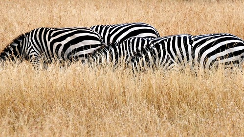 Grazing Zebras in the grass.