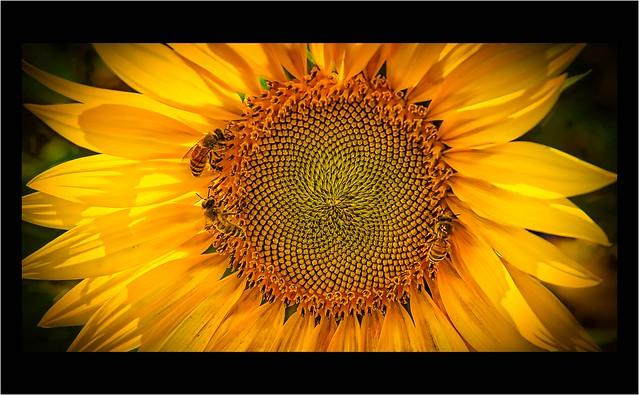 Three B's on the sunflower