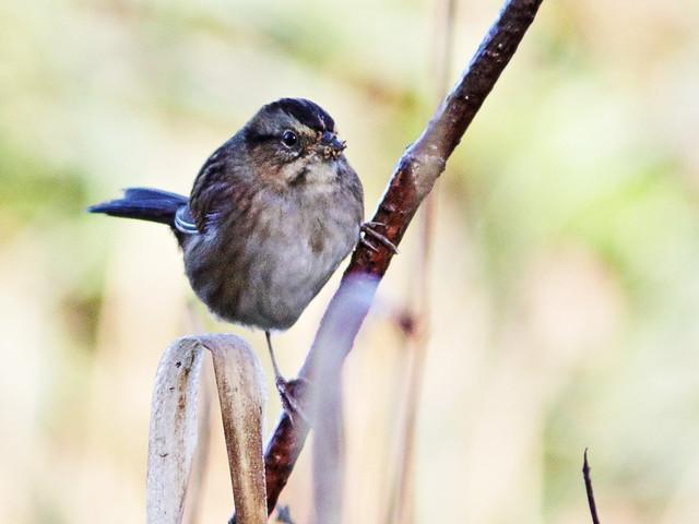 Swamp Sparrow 03-20171008
