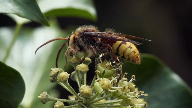 Hornet on Ivy Flowers