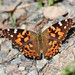 Flickr photo 'Vanessa cardui (Painted Lady or Cosmopolitan)' by: Arthur Chapman.